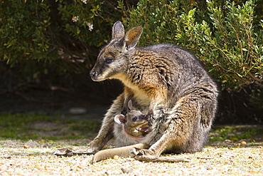 Tammar Wallaby, (Macropus eugenii), Flinders Chase N.P., Kangaroo Island, South Australia, Australia