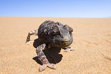 Namaqua chameleon (Chamaeleo namaquensis), Namibia, Africa