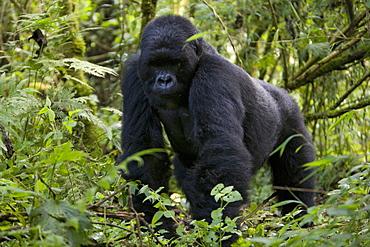 Mountain gorilla (Gorilla gorilla beringei), Silverback, Kongo, Rwanda, Africa