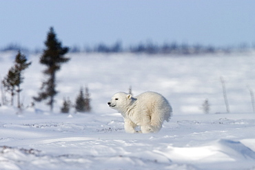 Polar Bear Cub, (Ursus maritimus), Churchill, Manitoba, Canada - 748-96