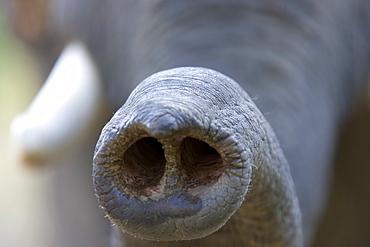 Indian Elephant, (Elephas maximus), Trunk, Bandhavgarh N.P., Madhya Pradesh, India