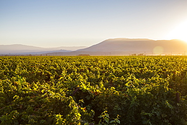Vineyards in San Joaquin Valley, California, United States of America, North America