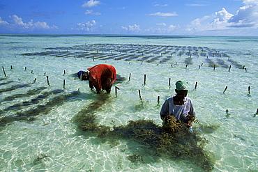 Man and woman working in seaweed cultivation, Zanzibar, Tanzania, East Africa, Africa