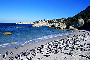 African penguins at Boulder beach in Simon's town, near Cape Town, South Africa, Africa