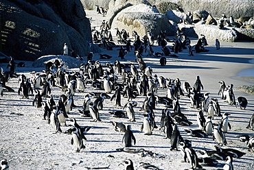 Penguins at Boulder beach in Simon's town, near Cape Town, South Africa, Africa