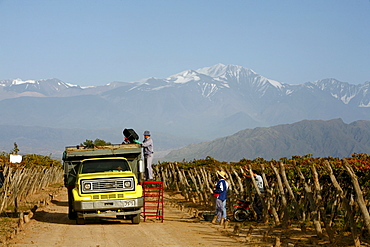 Grape harvest at a vineyard in Lujan de Cuyo with the Andes mountains in the background, Mendoza, Argentina, South America