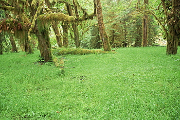Grass and maple trees in temperate rain forest, Queets River, Olympic National Park, UNESCO World Heritage Site, Washington State, United States of America (U.S.A.), North America