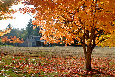 Maple trees in full autumn color and barn in background, Wax Orchard Road, Vashon Island, Washington State, United States of America, North America