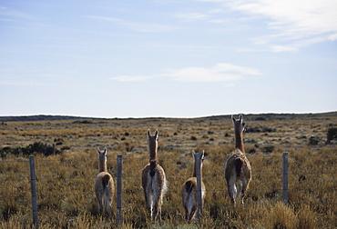 Guanacos walk away from fence, Tierra del Fuego, Argentina, South America