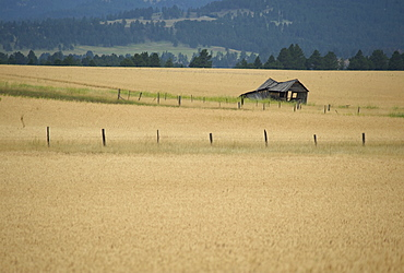 Derelict barn in wheat field, Northern Wyoming, United States of America, North America
