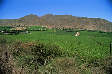 Grape vines in the Valle de Elqui, location of the largest producer of pisco, a grape-like brandy, Chile, South America