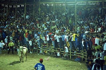 Crowds of Costa Ricans run from mad bull at national fiesta, Santa Cruz bull fights, Costa Rica, Central America