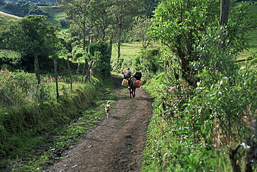 Dog leads the way for donkey and keeper, near Cotopaxi volcano, Ecuador, South America