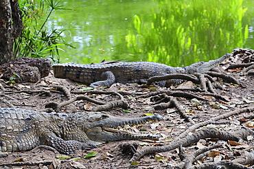 Freshwater crocodiles, Northern Territory, Australia, Pacific