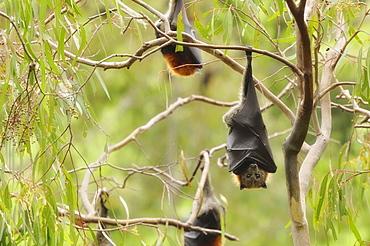 Grey-headed flying fox (Pteropus poliocephalus), Yarra Bend Park, Melbourne,Victoria, Australia, Pacific