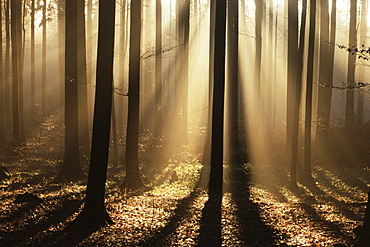 Foggy forest and sunrays, Bayerischer Wald, Germany, Europe - 756-172