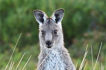 Eastern grey kangaroo, Wilsons Promontory National Park, Victoria, Australia, Pacific