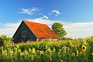 Rural scene with sunflowers (Helianthus annuus), near Villingen-Schwenningen, Black Forest, Schwarzwald-Baar, Baden-Wurttemberg, Germany, Europe