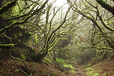 Laurel forest in fog, El Hierro, Canary Islands, Spain, Europe