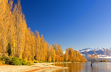 Poplar trees at Lake Wanaka, Wanaka, Central Otago, South Island, New Zealand, Pacific