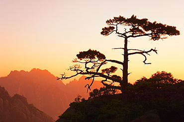 Pine tree, White Cloud scenic area, Huang Shan (Yellow Mountain), UNESCO World Heritage Site, Anhui Province, China, Asia