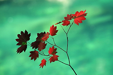 Close-up of the leaves of a vine maple (Acer circinatum), Mount Rainier National Park, Washington state, United States of America, North America