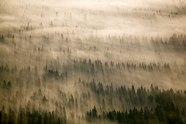 Aerial of Douglas fir trees in morning fog, Washington State, United States of America, North America