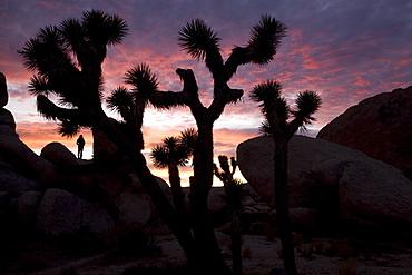 Woman watching sunset, Joshua Tree National Park, California, United States of America, North America