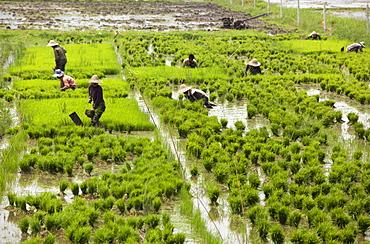 Tending the rice paddies, Shan State, Myanmar (Burma), Asia