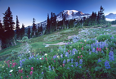 Landscape with wild flowers, Mount Rainier National Park, Washington state, United States of America, North America