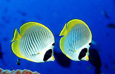 Panda butterflyfish, Chaetodon adiergastos, Indonesia, Indian Ocean, Komodo National Park