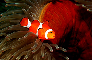 Clown anemonefish, Clownfish, Amphiprion ocellaris, Philippines, Bohol Sea, Pacific Ocean, Panglao Island, Bohol