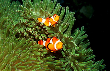 Two Clown anemonefish, Clownfish, Amphiprion ocellaris, Philippines, Bohol Sea, Pacific Ocean, Panglao Island, Bohol