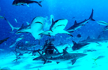 Caribbean reef shark, shark feeding, Carcharhinus perezi, Bahamas, Caribbean Sea