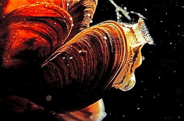 Freshwater shell, Dreissena polymorpha, Germany, Thueringen