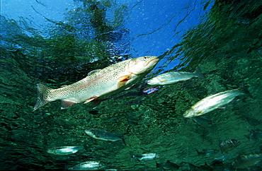 rainbow trout, Oncorhynchus mykiss, Germany, Bavaria