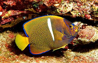 Juvenile Galapagos Angelfish, Holocanthus passer, Costa Rica, Cocos Island, South america, Latin america
