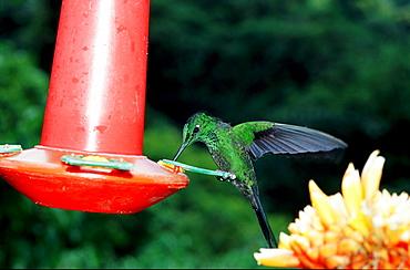 HUMMINGBIRD, Coppery headed Emerald, Costa Rica, South america, La Paz Waterfall Gardens, Peace Lodge