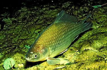 Crucian carp, Carassius carassius, Austria, Weißensee, Weissensee