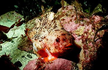 Lumpsucker, Cyclopterus lumpus, Germany, North Sea