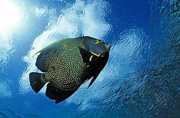French Angelfish, Pomacanthus paru, British Virgin Islands, BVI, Caribbean Sea, Leeward Islands