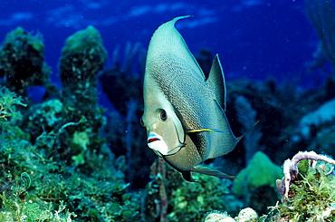 Gray angelfish, Pomacanthus arcuatus, British Virgin Islands, BVI, Caribbean Sea, Leeward Islands