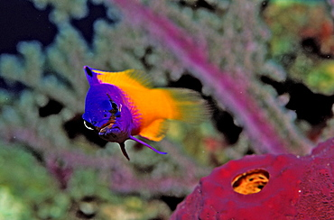 Royal gramma, fairy basslets, Gramma loreto, British Virgin Islands, BVI, Caribbean Sea, Leeward Islands