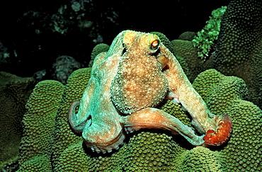 Octopus, Octopus vulgaris, British Virgin Islands, BVI, Caribbean Sea, Leeward Islands