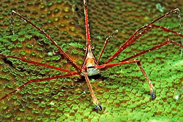 Spider crab, Stenorhynchus seticornus, British Virgin Islands, BVI, Caribbean Sea, Leeward Islands