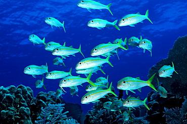 Yellow Goatfish, Mulliodichthys martinicus, British Virgin Islands, BVI, Caribbean Sea, Leeward Islands