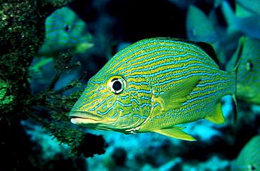 French Grunt, Haemulon flavolineatum, British Virgin Islands, BVI, Caribbean Sea, Leeward Islands
