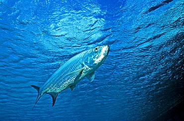 Tarpon, Tarpons, Megalops atlanticus, British Virgin Islands, BVI, Caribbean Sea, Leeward Islands
