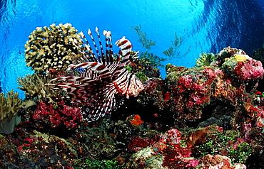 lionfish, turkeyfish and coral reef, Pterois volitans, Indonesia, Raja Ampat, Irian Jaya, West Papua, Indian Ocean