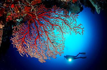 Scuba diver and Coral reef, Indonesia, Raja Ampat, Irian Jaya, West Papua, Indian Ocean